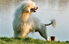 portugiesischer wasserhund langhaar