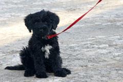 portugiesischer wasserhund welpe